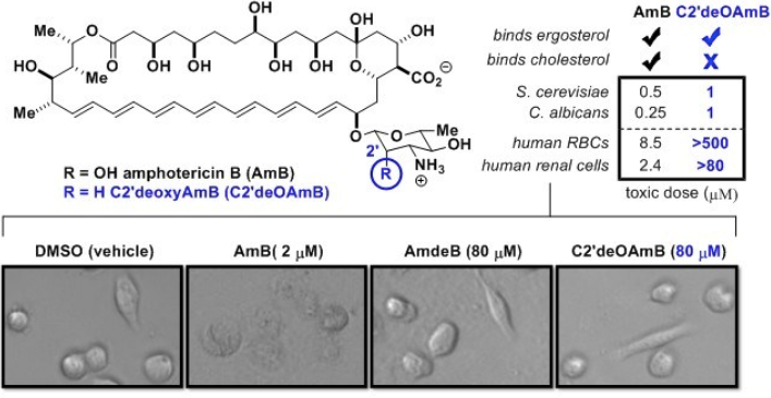 C2'deOAmB shows potent activity to yeast but non-toxic to human cells