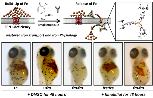 Hinokitiol rescues hemoglobinization through iron mobilization across membrane.