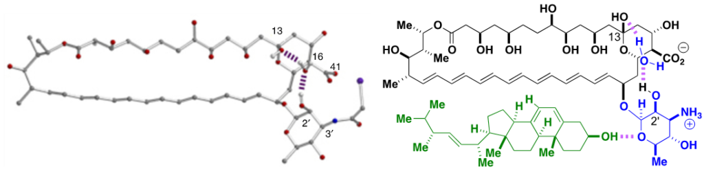 Left, X-ray crystal structure of N-iodoacyl AmB. Right, Proposed structural model for AmB-Erg complex. A similar model is proposed for Chol.