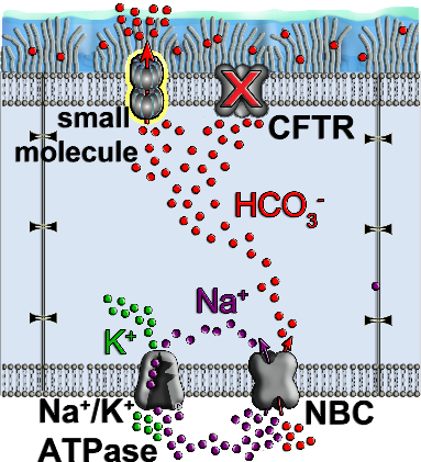 AmB forms an ion channel in lipid bilayer and enables the conductance of HCO3- across the epithelia cells.